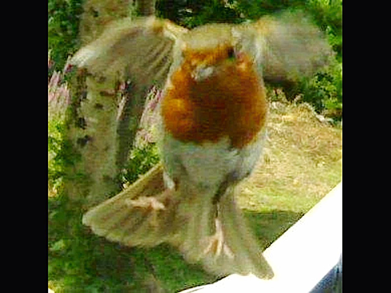 Nature On Your Doorstep taken a few years ago with a crappy mobile phone with a 1Mp camera...he kept coming sitting on my wing mirror when I had my lunch, this was him coming into land.