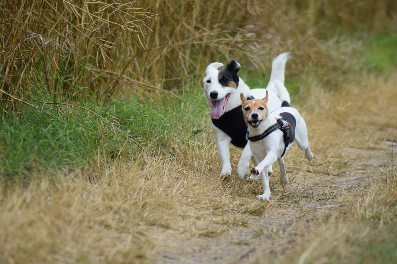 dog, domestic animals, grass, pets, animal themes, outdoors, day, mammal, no people, nature