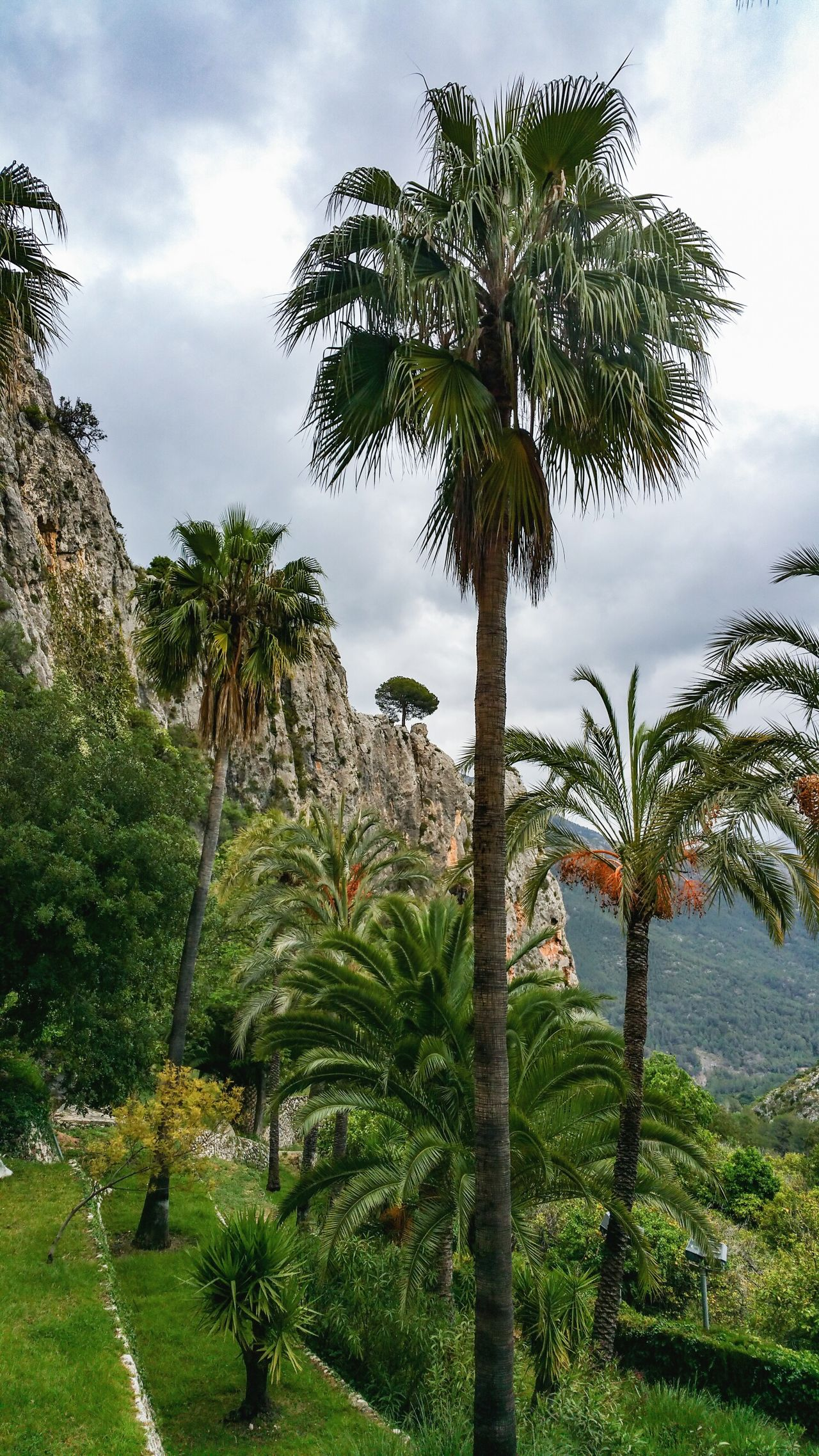 Tree Growth Palm Tree Terrace Guadalest Spain Mediterranean  Mountain Spring Mediterranean  Landscape Valencia, Spain Travel España Travel Destinations Nature Beauty In Nature Green Color Branch Cloud - Sky No People Freshness Springtime SPAIN Outdoors Day