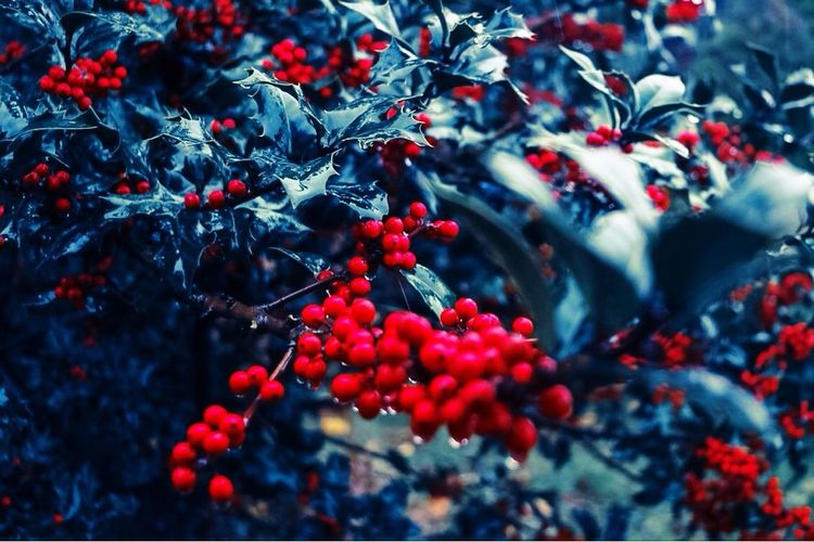 My Year My View Red Christmastime Kokina Ruscus Aculeatus Nature Raindrops RainyDays School University Campus Myview