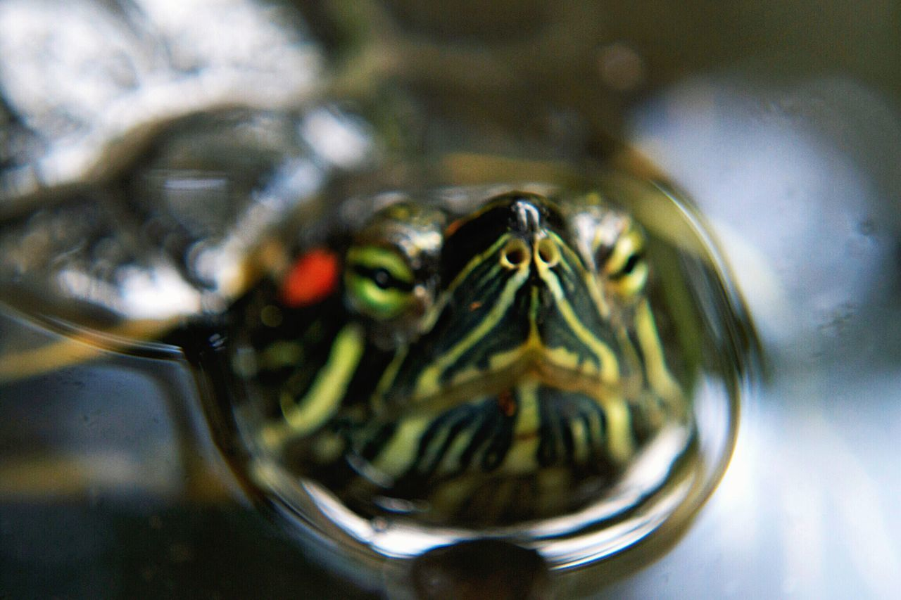 Wild Life Turtle Poking Head Out Of Water Turtle Nose Turtle In Water Wild Animal Animal Photography Detail Animal Portrait Single Animal Close Up Turtle Turtle Facing Camera Red Eared Slider Turtle Turtle Nature Nature Up Close Animals Animalface Animal Nose