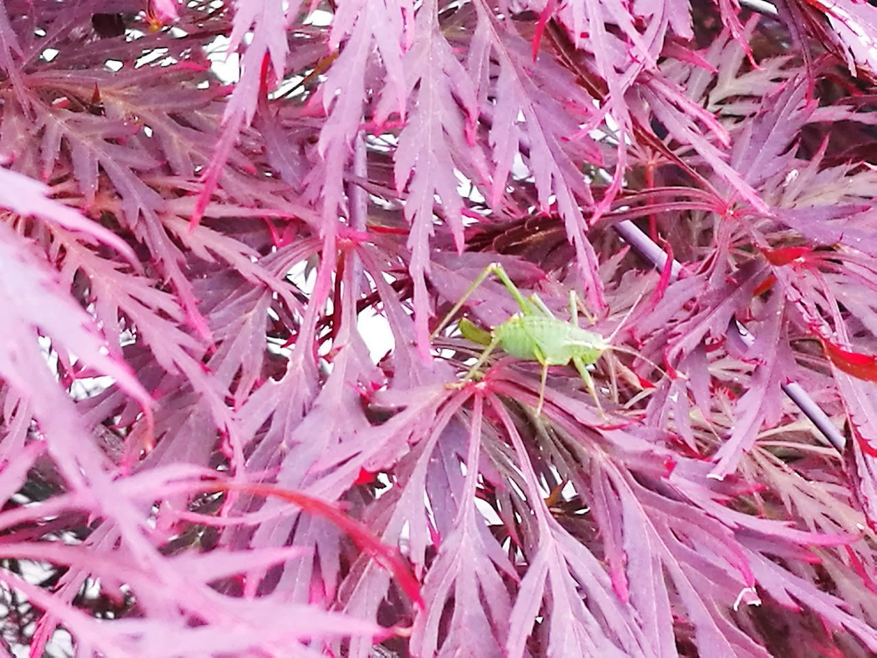 Insect on Acer