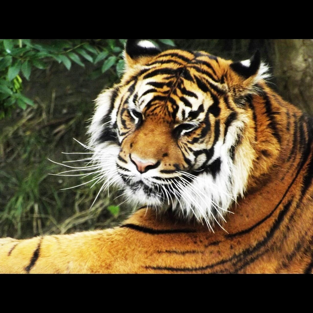 one animal, animals in the wild, animal themes, tiger, day, close-up, no people, outdoors, nature, mammal