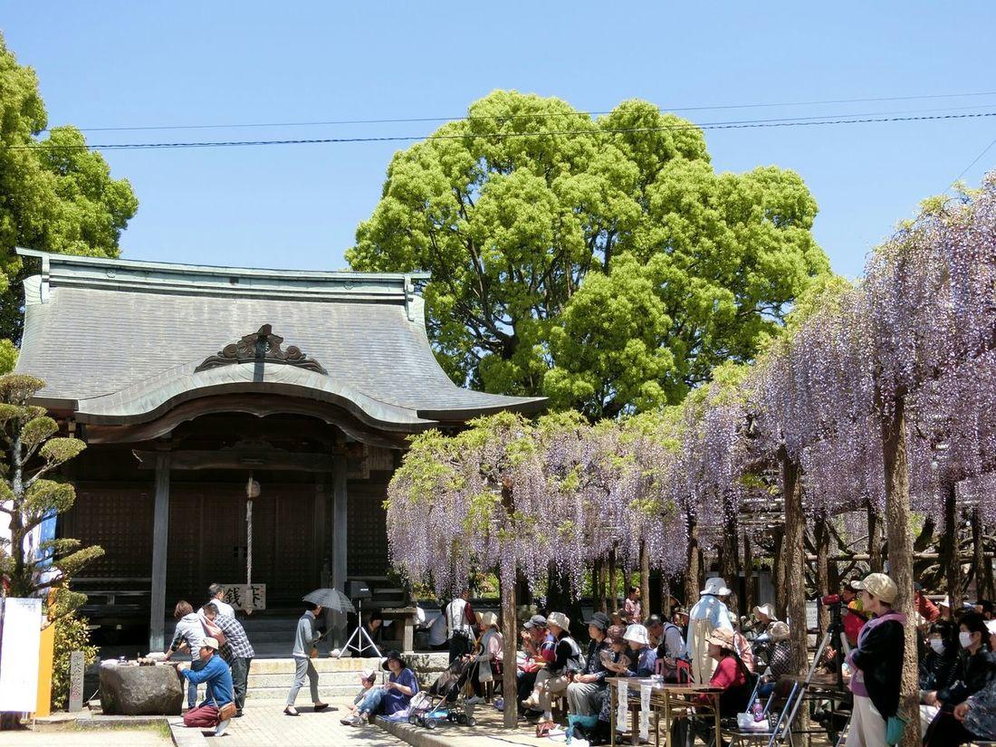 藤 祭り Wisteria Wisteria Festival Japanese Shrine