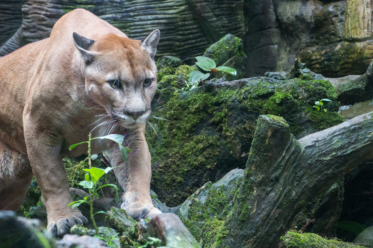 Beautiful stock photos of puma,  Animal Themes,  Animals In Captivity,  Close-Up,  Costa Rica