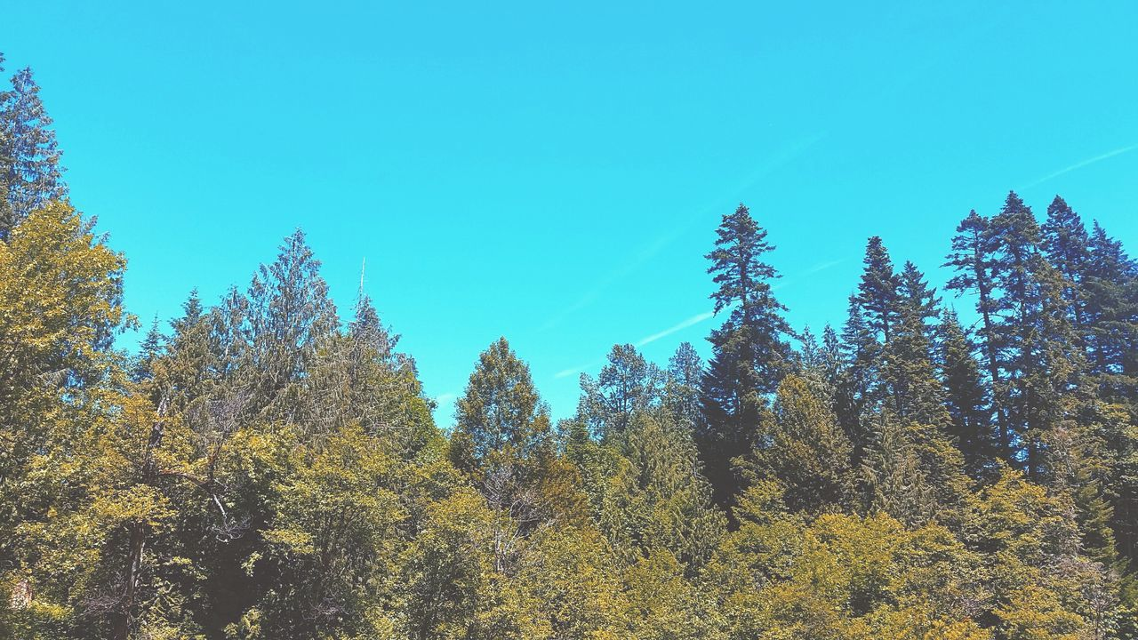 Low Angle View Of Trees In Forest Against Clear Blue Sky