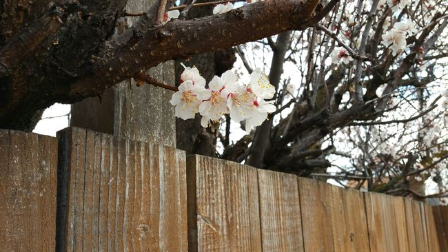 Blossoms  Apricot Blossoms Spring Trees Nature Sky Fence Outdoors Flowers