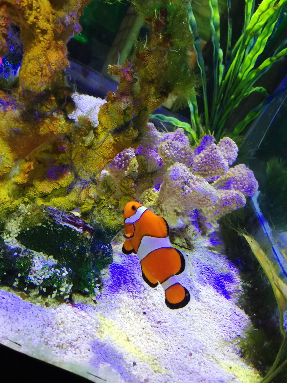 underwater, water, clown fish, sea life, fish, animal themes, undersea, swimming, animals in the wild, animal wildlife, no people, sea, coral, aquarium, nature, beauty in nature, sea anemone, indoors, close-up, day