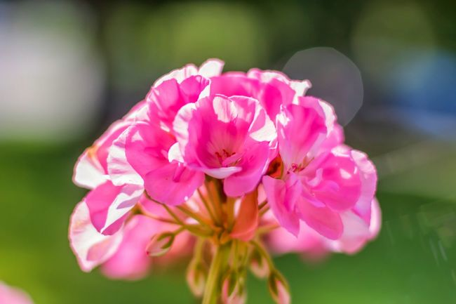 Flower Fragility Freshness Pink Color Petal Close-up Growth Selective Focus Flower Head Springtime Beauty In Nature In Bloom Blossom Nature Botany Single Flower Plant Softness Rose - Flower Focus On Foreground Bokehlicious Bokeh Balls