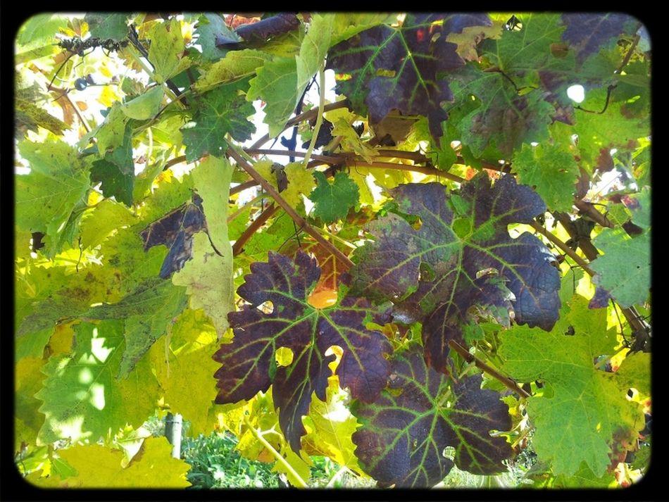 Wine Things That Are Green Vines Vineyard