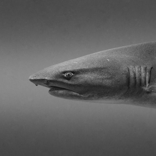 I had to acent a little to slide over the ridge of the reef. Nothing prepared me for a sudden eye to eye encounter with this beautiful white tip reef shark. We both reacted surprised and exchanged looks before each going our own way. Such a moment! Year Of Photography 2015 The Adventure Handbook Blackandwhite Eye To Eye Hunter Shark The Great Outdoors With Adobe The Great Outdoors - 2016 EyeEm Awards Capturing Freedom Original Experiences Wild Life Animal No People Copy Space Galapagos Diving Scuba Diving SCUBA Underwater Gracious Swimming EyeEm Best Shots EyeEm Nature Lover Nature