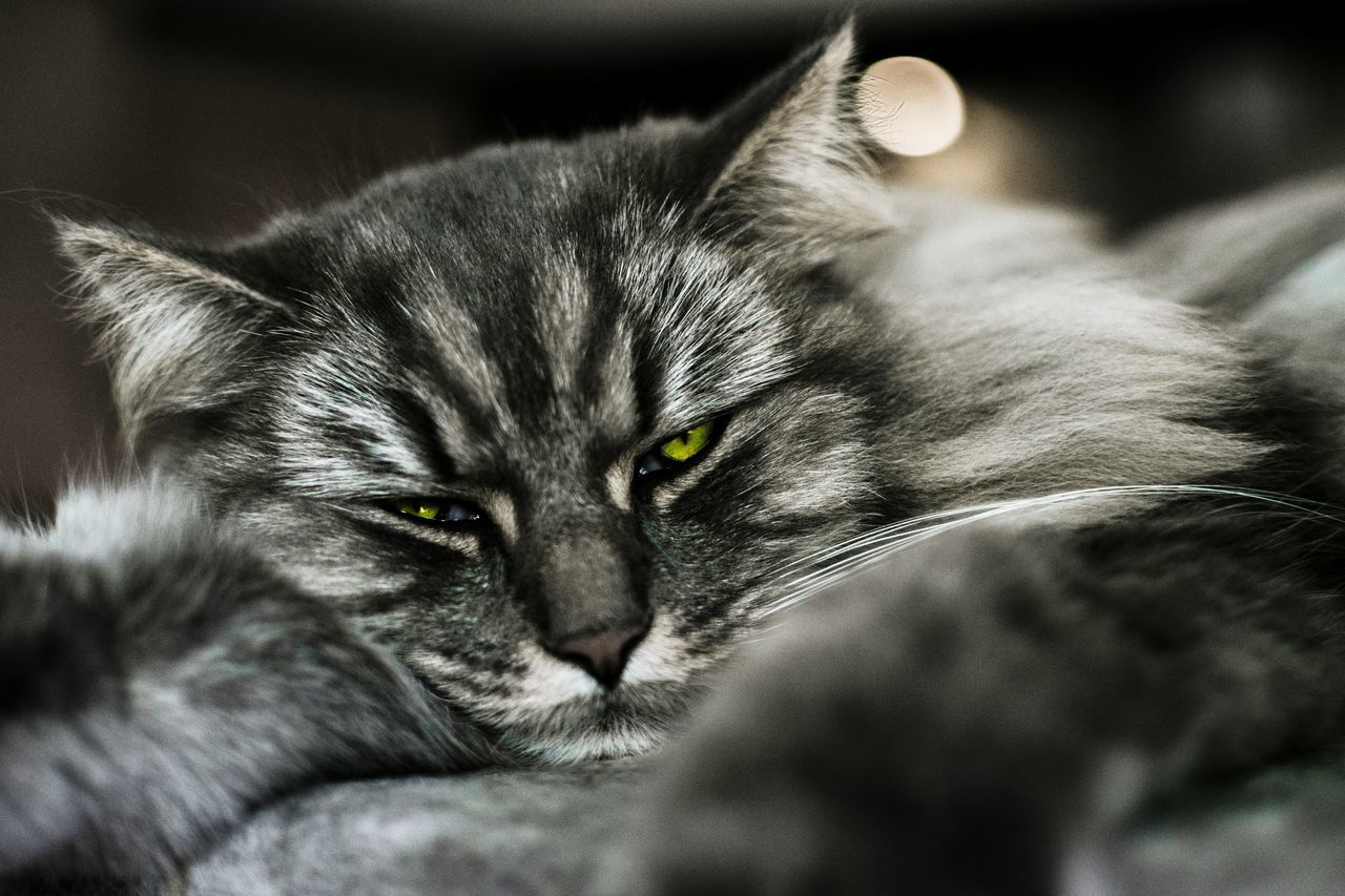 animal themes, one animal, mammal, domestic cat, whisker, feline, domestic animals, no people, pets, close-up, relaxation, portrait, day, indoors