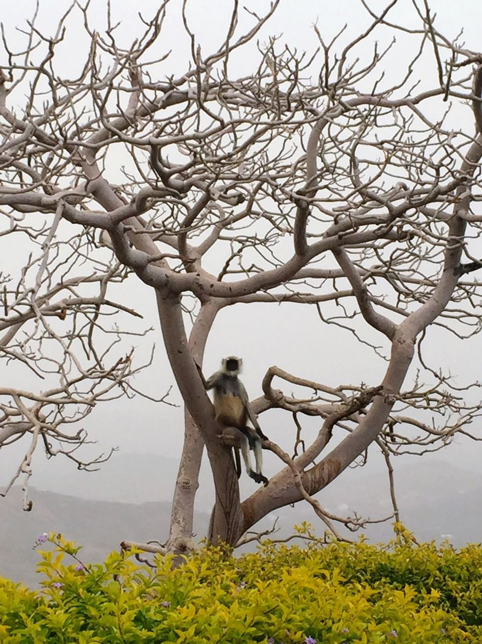 EyeEmNewHere Langur Monkey Gray Langur Monkey Black Face Monkey Monkey In A Tree Monkey Sitting Tree Wildlife Animals Animals In The Wild Udaipur Udaipur. India India One Animal Branch Bare Tree Mammal No People