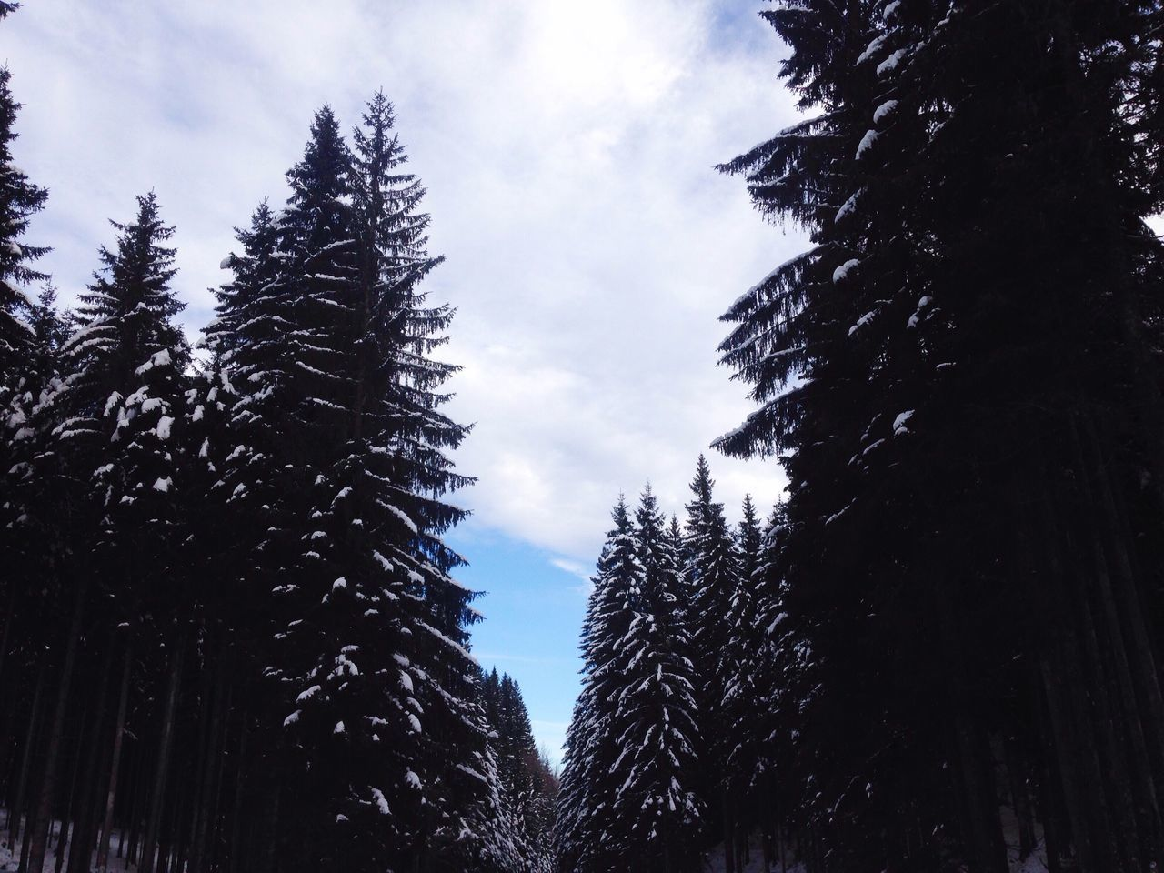 Tree Nature Sky Low Angle View Snow Winter Cold Temperature No People Growth Tranquility Beauty In Nature Day Outdoors Cloud - Sky Snowing Snow ❄ Snow Trees Cold Winter Christmas Tree Love Pretty