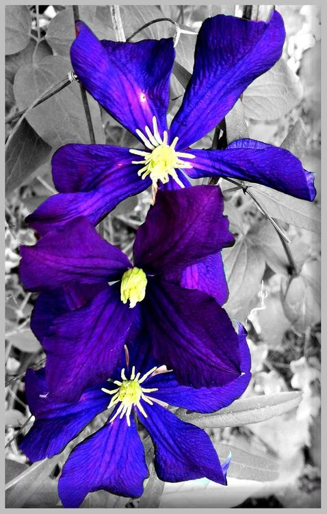 clematis in Richmond by Colleen
