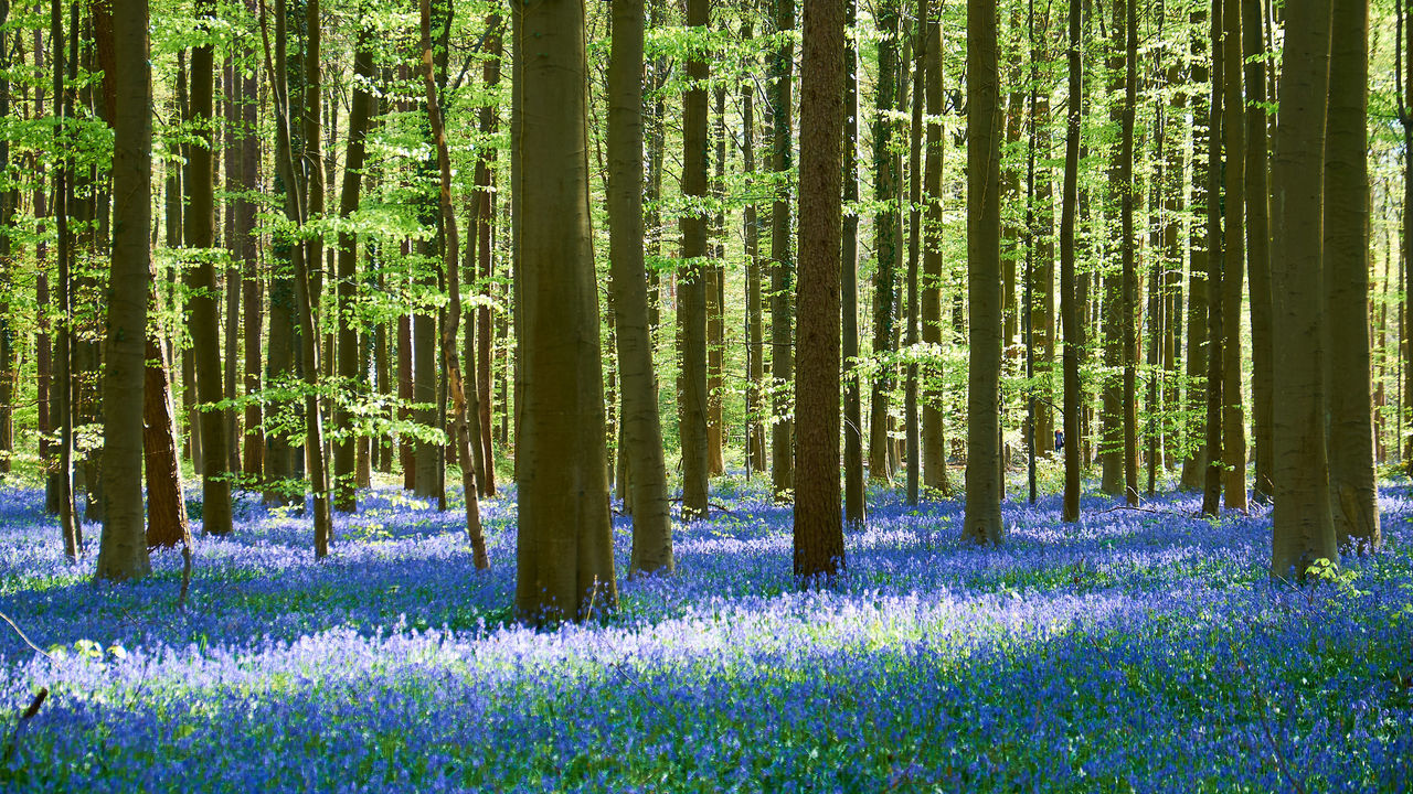 Spot of light in the enchanted forest - Abundance Beauty In Nature Blooming Bluebells Day Flower Forest Green Color Growth Landscape Light Nature Plant Scenics Sunshine Tranquil Scene Tranquility Tree Tree Trunk WoodLand The Great Outdoors With Adobe Hallerbos