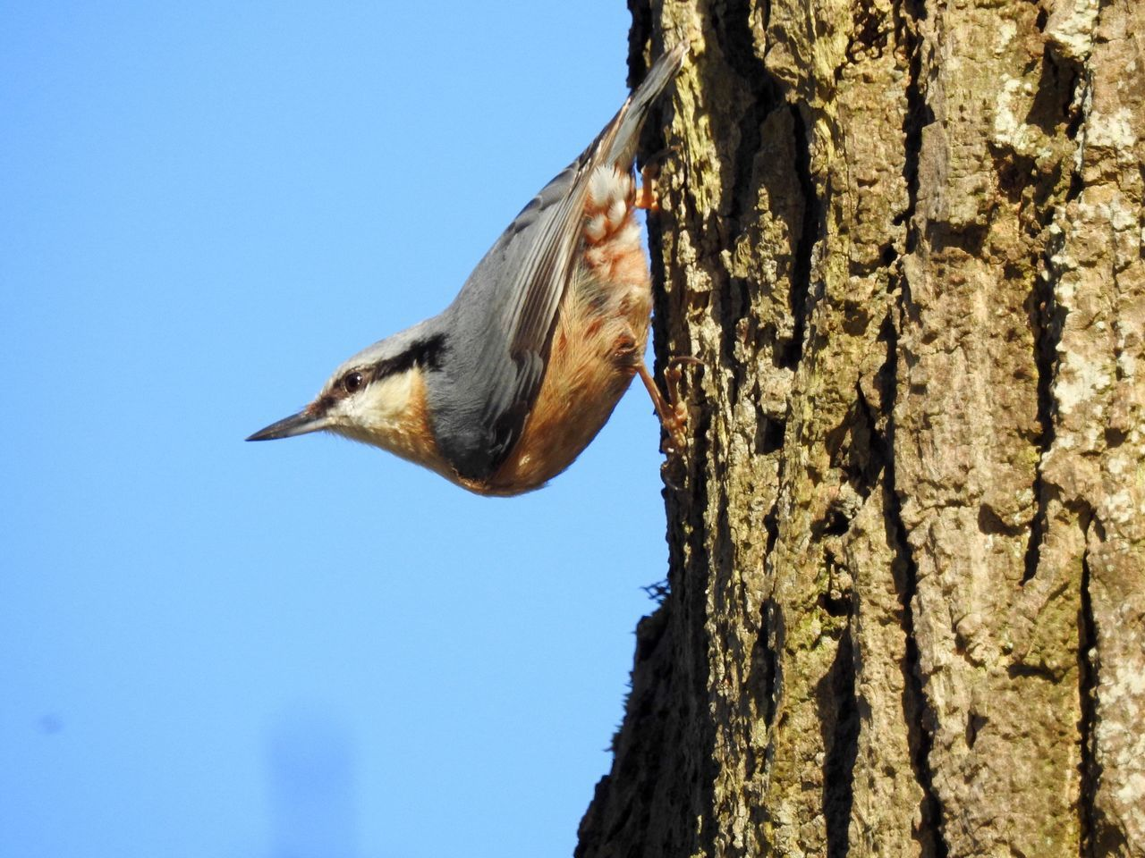 Nuthatch One Animal Animals In The Wild Low Angle View Animal Themes Tree Trunk Animal Wildlife Tree Outdoors Nature Day No People Sky Hang On Tight