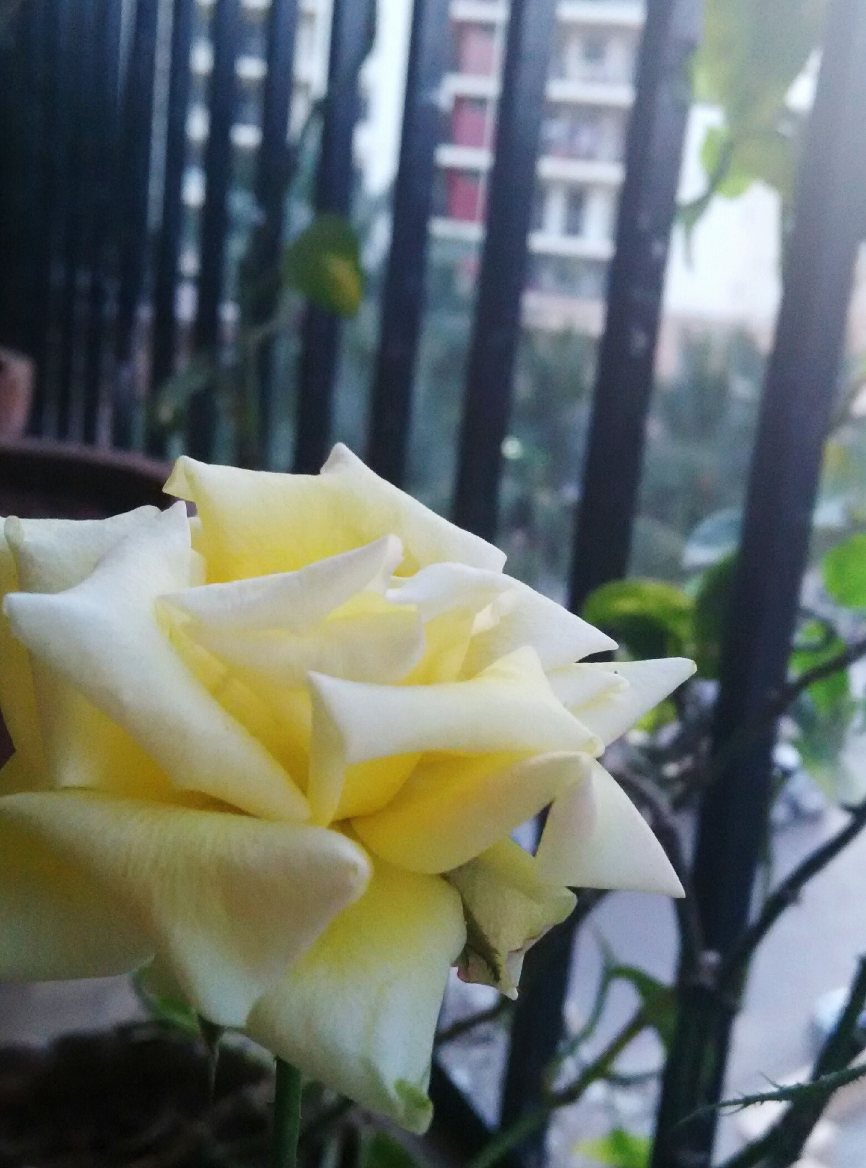 flower, petal, flower head, freshness, fragility, close-up, focus on foreground, growth, rose - flower, beauty in nature, yellow, single flower, white color, blooming, nature, plant, in bloom, leaf, blossom, day
