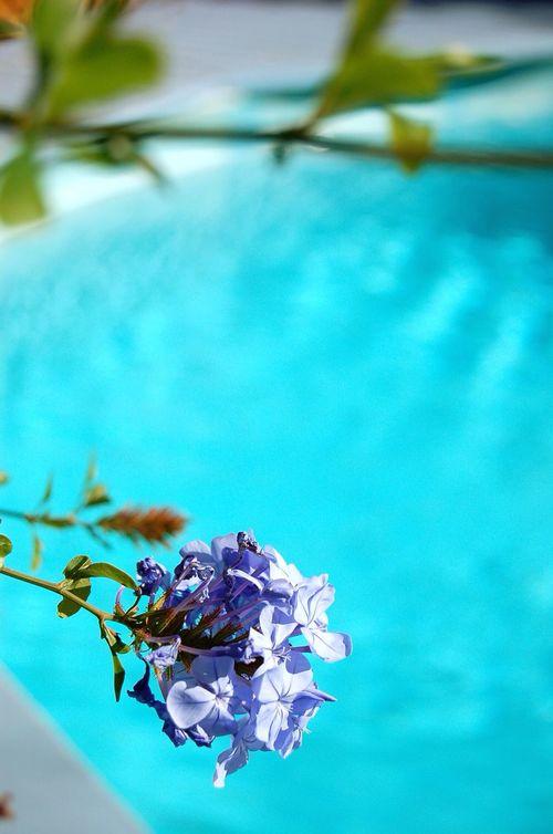 Flowers Flower Phlox Swimming Pool Nature On Your Doorstep Garden