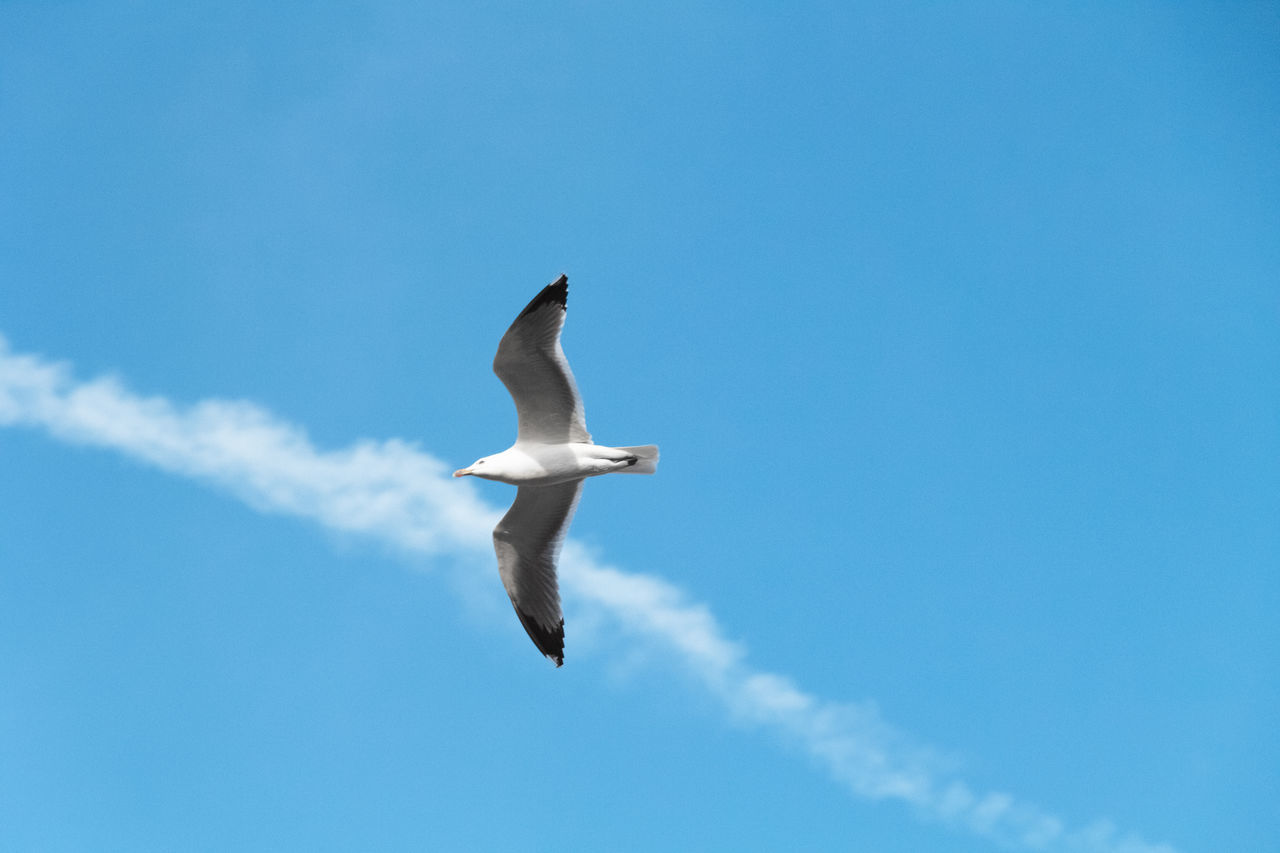 blue blue sky Animal Themes Animal Wildlife Animals In The Wild Beauty In Nature Bird Blue Bluebluesky Day Flying Low Angle View Mid-air Nature No People One Animal Outdoors Palma De Mallorca Seagull Sky Spread Wings Vapor Trail Live For The Story