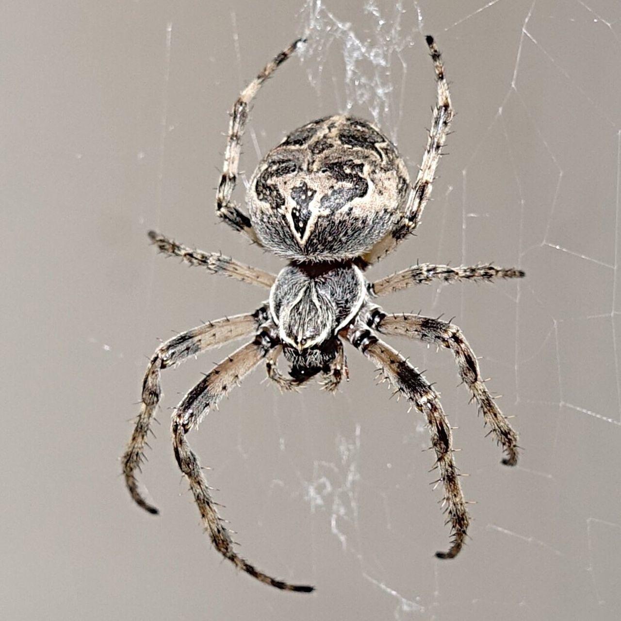Kreuzspinne Huntress Spiderman Arachne SONYrx100m3 Sony Rx100 Iii Sony Rx100 M3 Animalsofinstagram Sonyrx100iii Bdsmlifestyle Animal Photography Makro Makro Photography Makro Spinne Dangerouslysexy