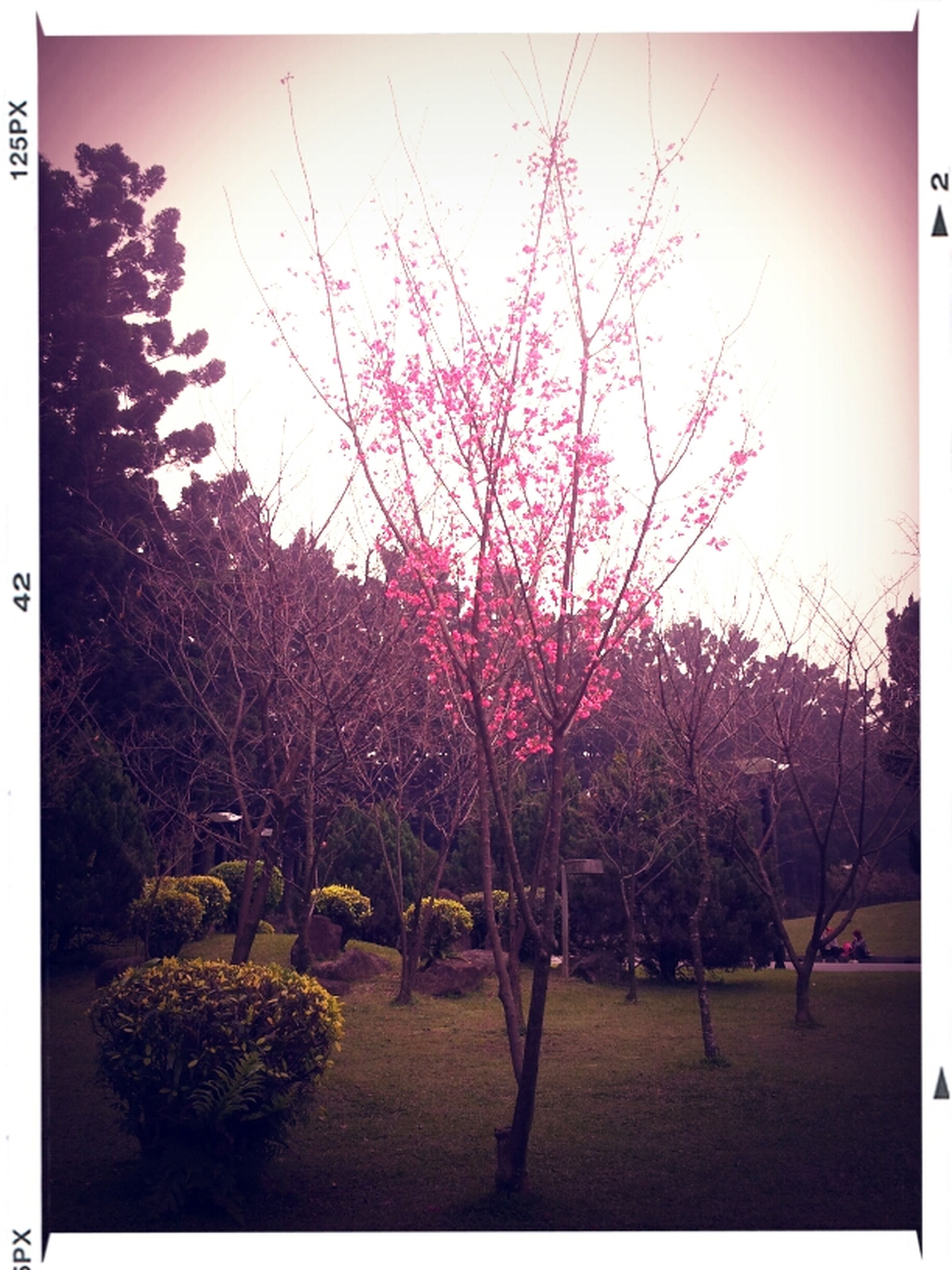 transfer print, tree, auto post production filter, growth, beauty in nature, branch, nature, tranquil scene, tranquility, clear sky, scenics, sky, water, flower, park - man made space, outdoors, pink color, sunlight, day, no people