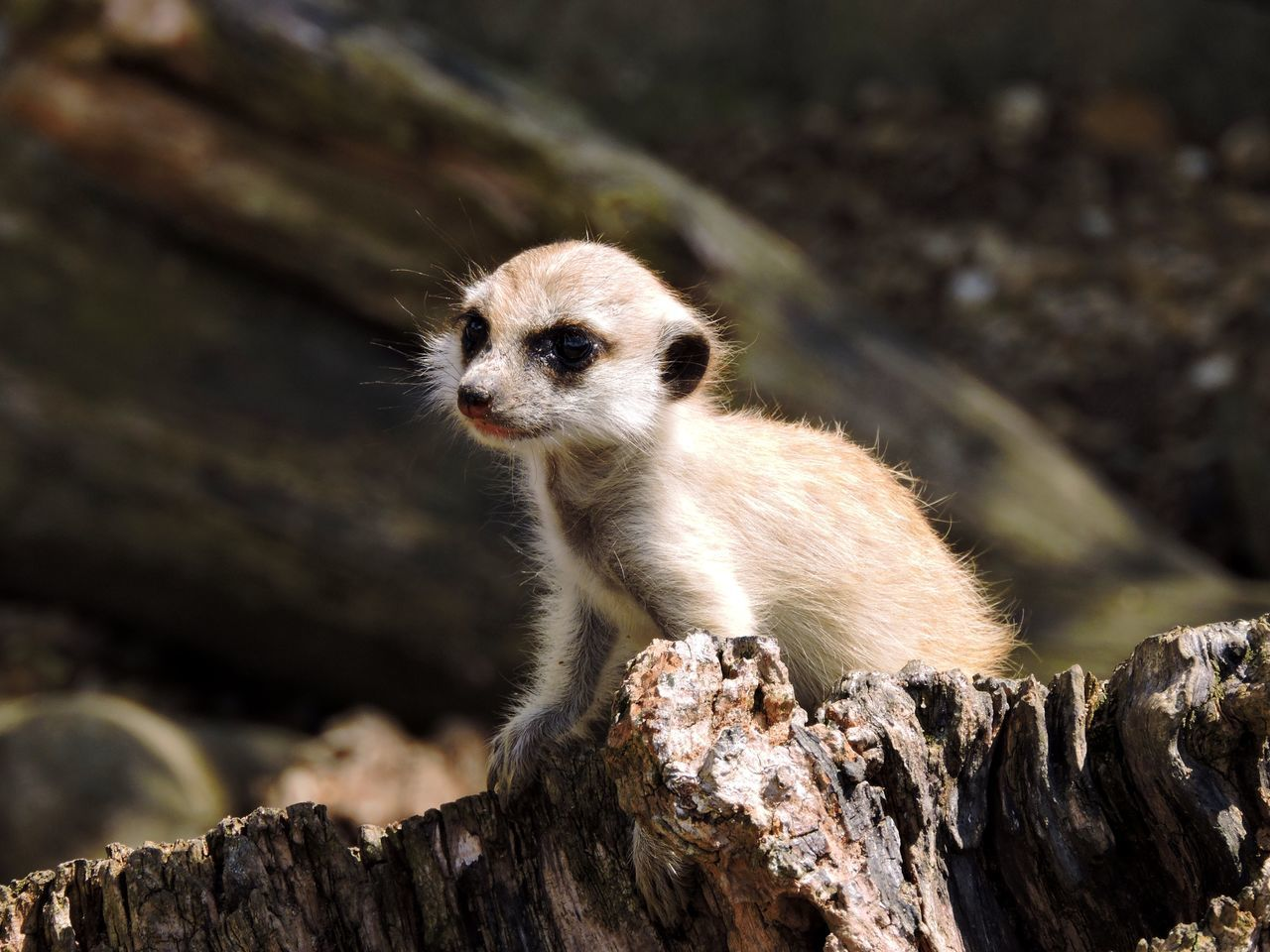 Baby Close-up Cute Day Depth Of Field England Focus Meerkat Nature Northamptonshire Outdoors Uk United Kingdom View Wood