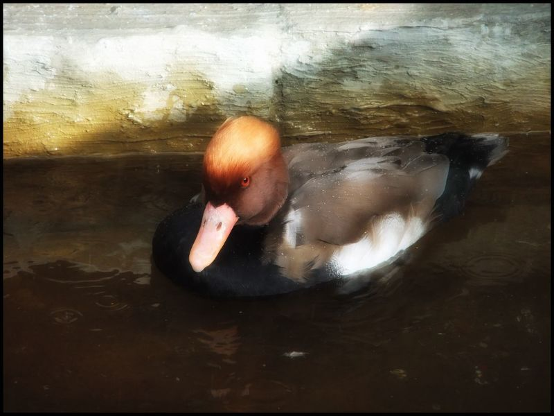 Pochard one of my favourite birds Swimming Lake Bird Animals In The Wild Water Animal Themes Waterfront Day One Animal Beak Close-up Outdoors Nature No People Duck Ducks EyeEmBestPics Eyeemphotography Eyemphotography Eye4photography  EyeEm EyeEm Gallery Nature Nature_collection