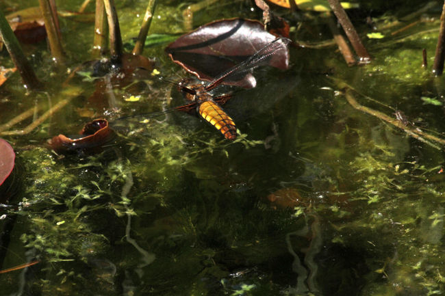 Darter Dragonflies Insect Pond Pond Life