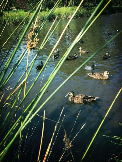 Ducks Water_collection
