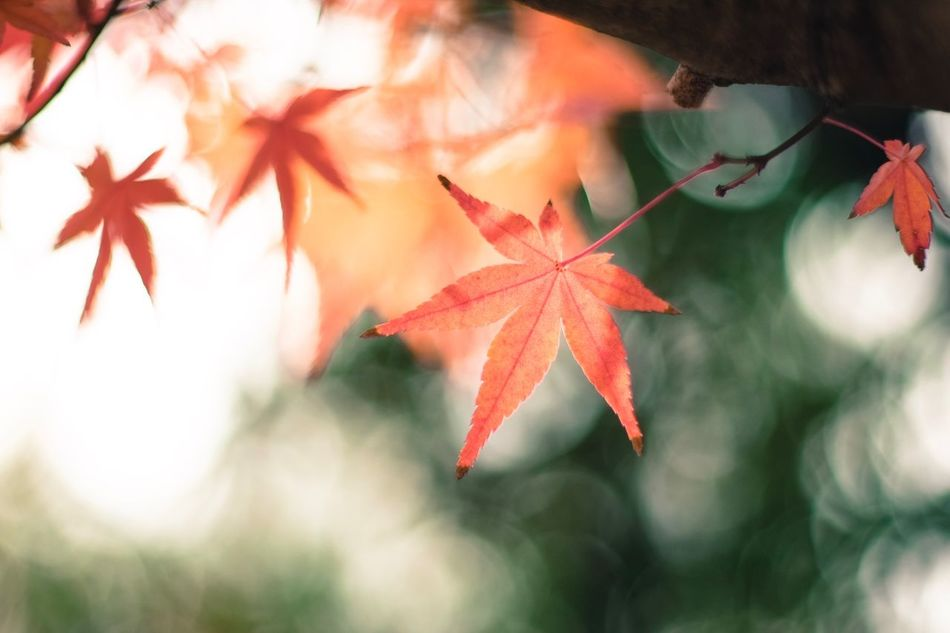 Maple Leaf Leaf Autumn Change Maple Tree Maple Nature No People Branch Red Close-up Tree Day Beauty In Nature Outdoors Animal Themes Beauty In Nature Fujifilm XE1 Fujifilm_xseries Fujifilmxe1 X-E1 Carl Zeiss Planar T* 1.4/50mm Carl Zeiss Planar50/1.4 Tree