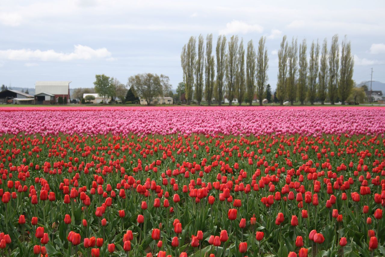 Pacific Northwest  Here Belongs To Me Tulips Skagit Valley Tulip Festival  Getting Creative Springtime Spring Flowers What I Value Lyricalartistry Pacific Northwest  Skagit Valley Tulip Festival  Showcase April Getting Inspired Exceptional Photographs Nature Bestoftheday More Tulips Pics 😅 The Great Outdoors - 2016 EyeEm Awards