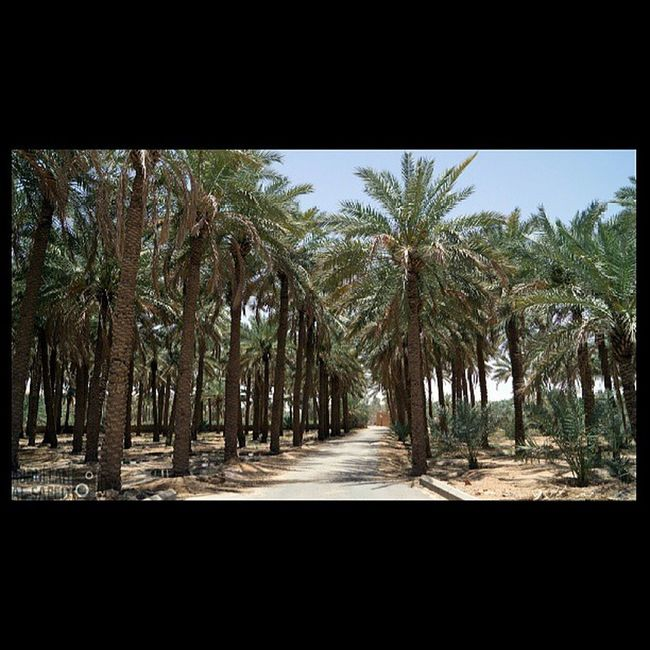 مزرعة الربيعية القصيم السعودية  ksa Saudi nature beautiful landscapes photography photo photos TagsForLikes picture photography سوني sony sonya57 green tree trees hash_stagram تصويري صورة التصوير