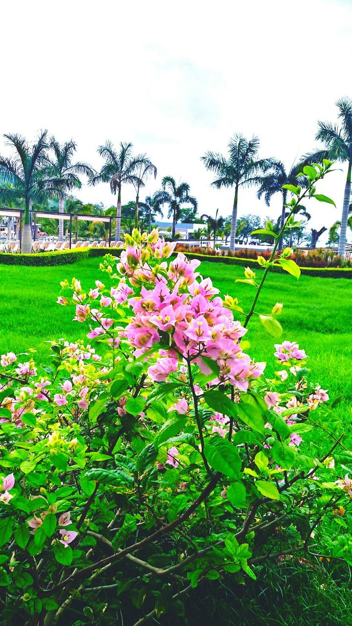 Pink Flowers Blooming On Plant In Park
