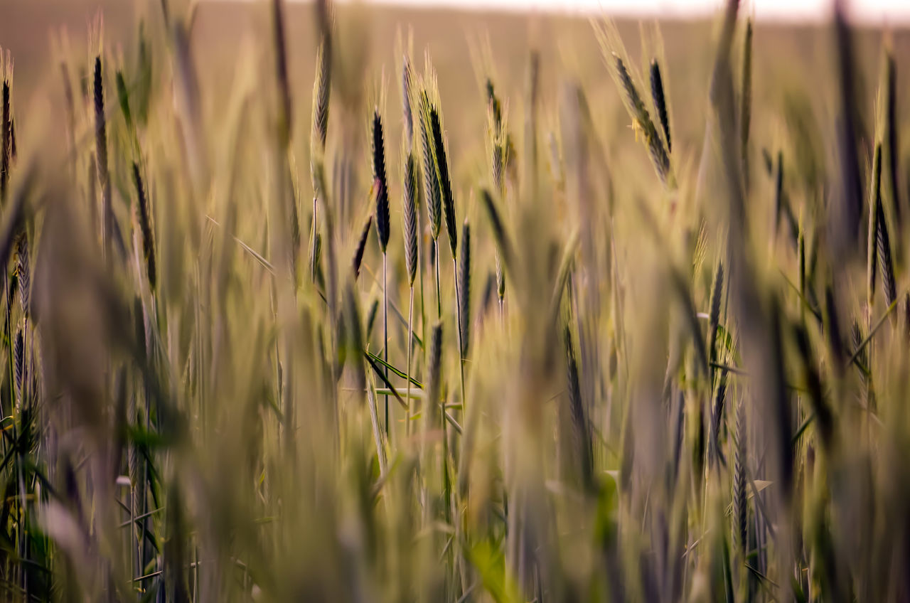 EyeEm Selects Cereal Plant Crop  Agriculture Wheat Growth Rural Scene Field Farm Nature Barley Plant Ear Of Wheat Backgrounds Outdoors Tranquil Scene Close-up Tranquility No People Wholegrain Day Inspiration Wonderlust Freedom Germany Sommergefühle