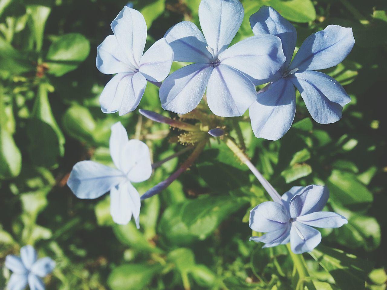 Blueflowers Green Leaves Eyeem Flower Lover EyeEm Nature Lover Eyeemphotography Vnmaphotography