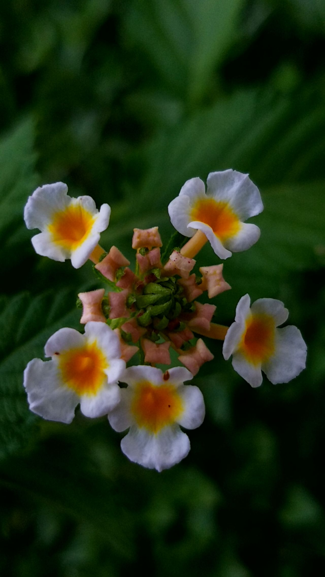 Symplicity Lantana Flower Symmetry In Nature Fractals In Nature Fibonacci Green Color White Flowers Beautiful Nature