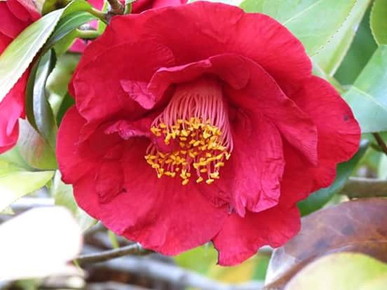 flower, petal, nature, red, beauty in nature, flower head, growth, freshness, fragility, no people, close-up, plant, leaf, outdoors, day, peony