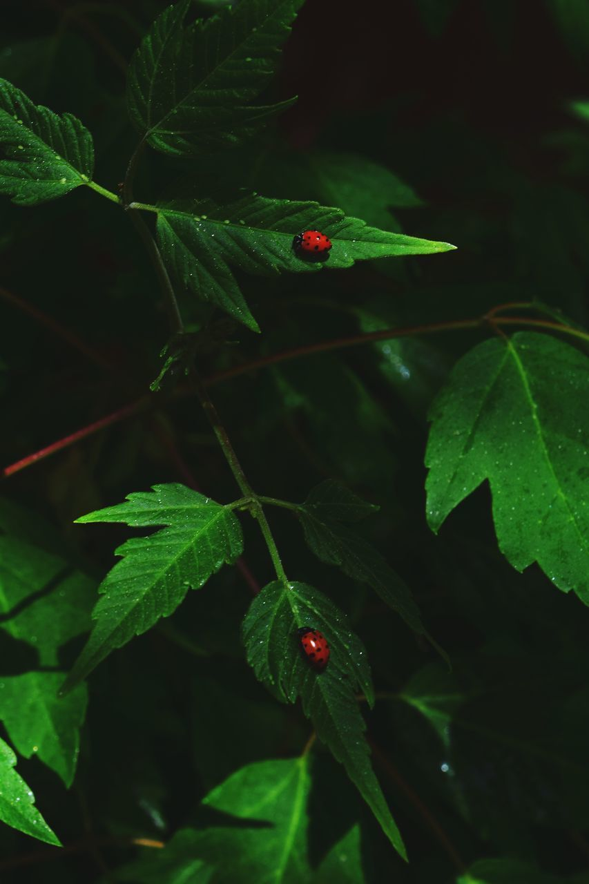 leaf, green color, red, growth, one animal, plant, nature, ladybug, animal themes, insect, animals in the wild, close-up, no people, tiny, outdoors, day, fruit, beauty in nature, freshness, fragility