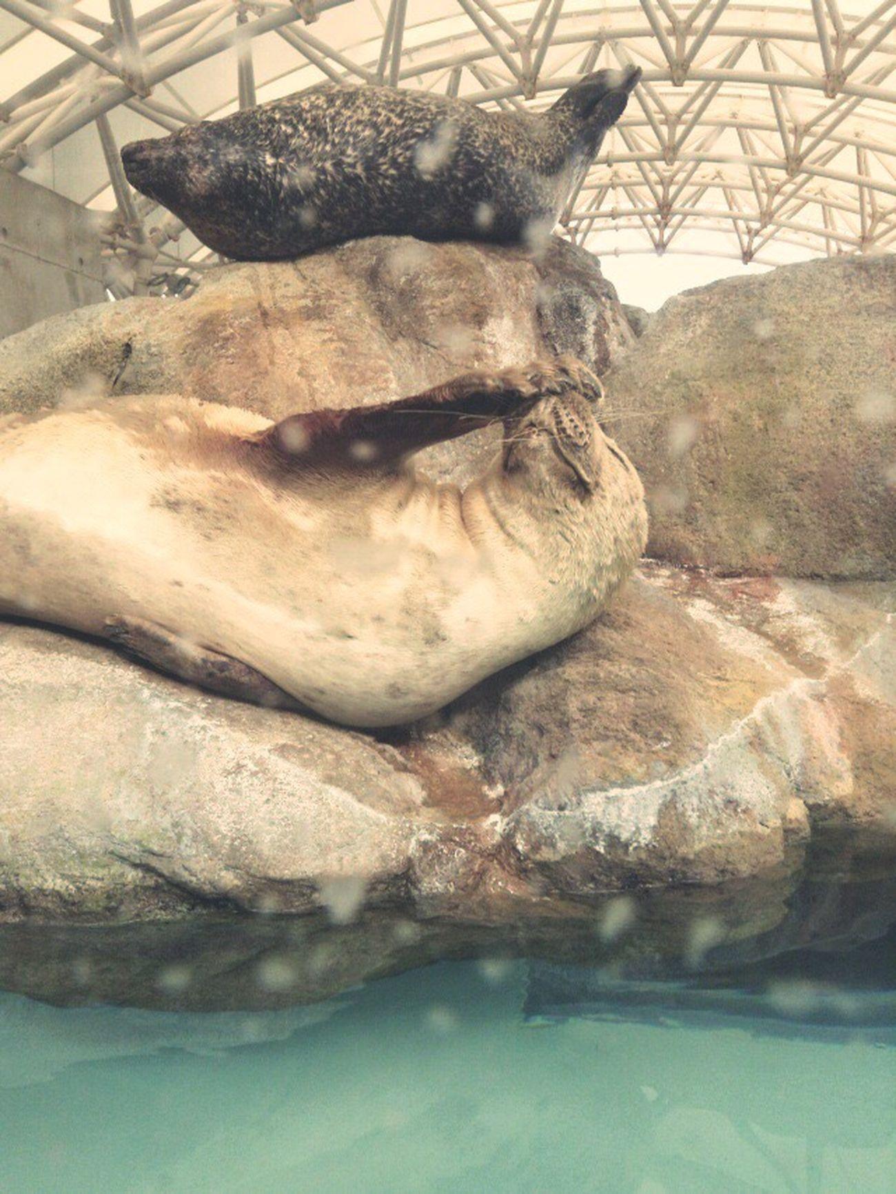 アザラシ 城崎マリンワールド 水族館 動物 Kinosaki Aquarium Seal Sea Dog Animals