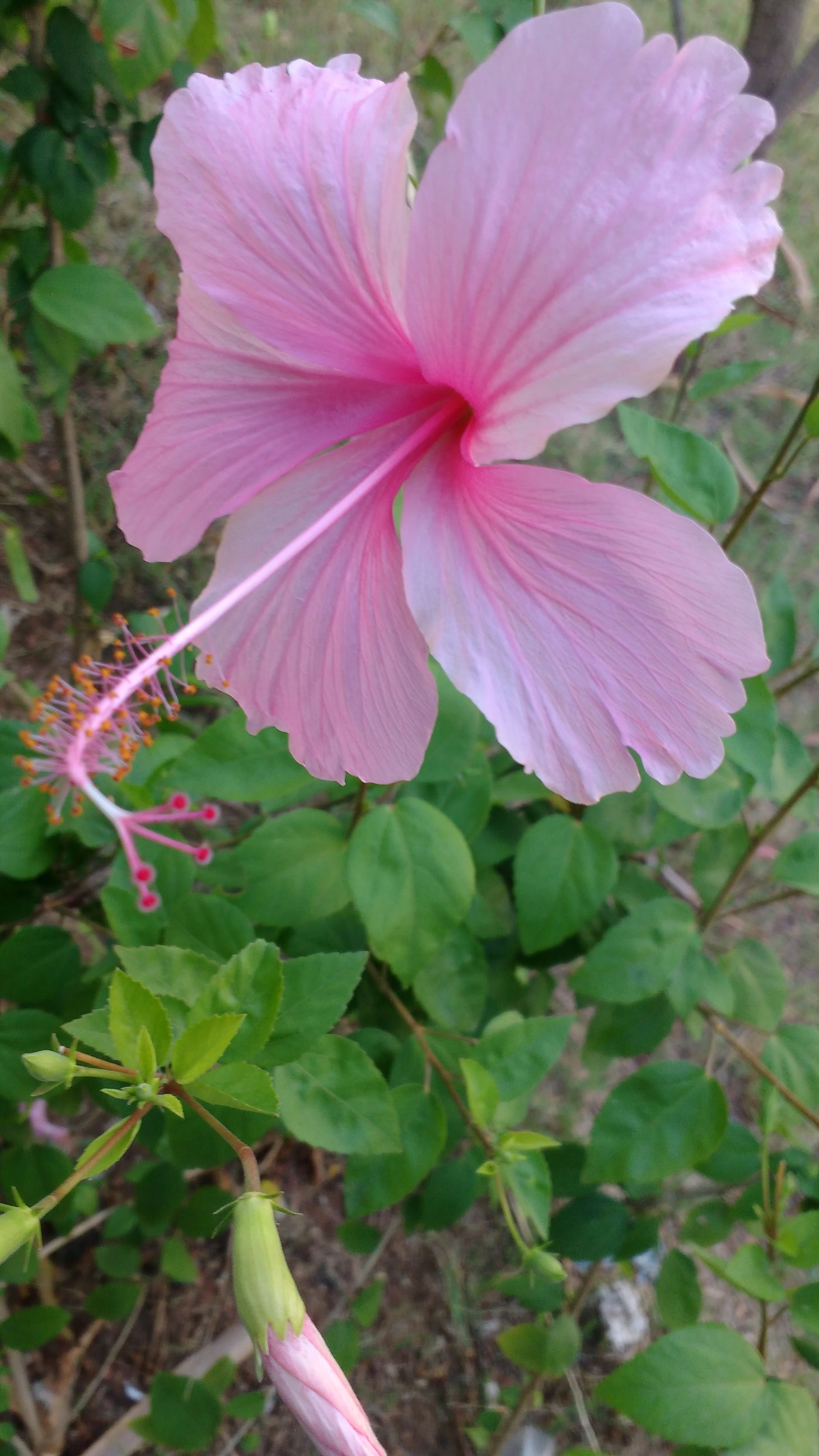 flower, freshness, pink color, petal, fragility, growth, flower head, beauty in nature, close-up, nature, plant, blooming, focus on foreground, leaf, pink, single flower, in bloom, outdoors, day, stamen
