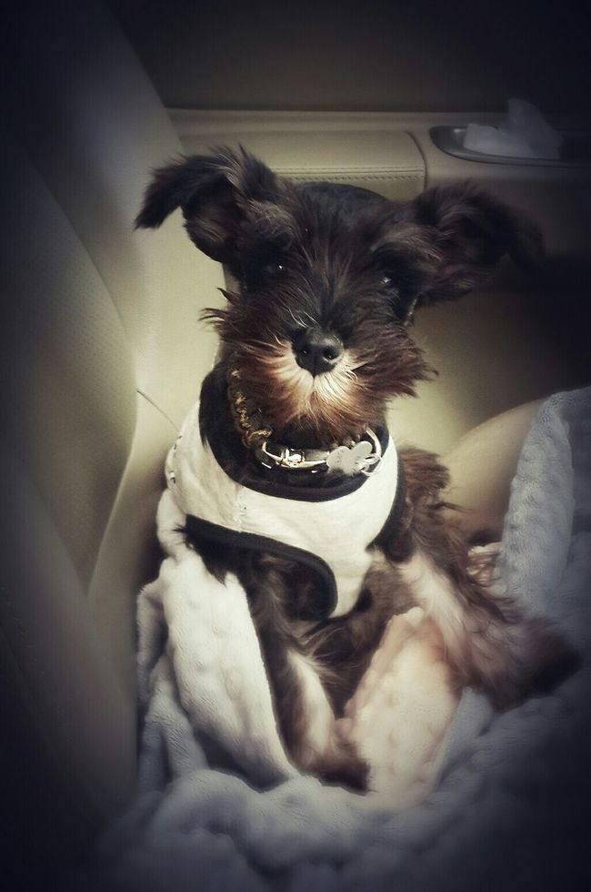 Have a good one ^_^ wooof wooof... Taking Photos Cute Pets Puppy My Pet I Love My Dog Baxter Hanging Out Lovely So Adorable Miniature Schnauzer