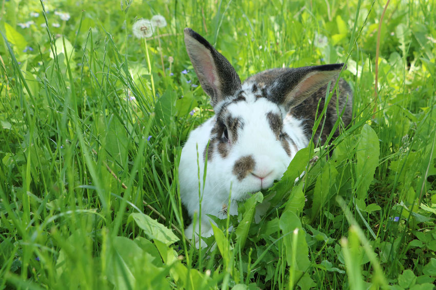 Brown and white rabbit,plant-eating mammal, with long ears, long hind legs, and a short tail, is sitting in the grass Animal Themes Bunny  Close-up Cute Dandelion Day Domestic Animals Easter Field Field Grass Grass Green Color Growth Mammal Nature No People One Animal Outdoors Pets Rabbit Summer Wildlife