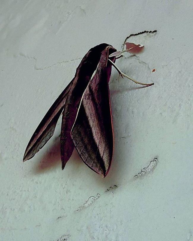 Hemm penasaran sebernya siapakah dia ? Serangga Insect Hewan Unik Kupukupu Berkakienam Terbang