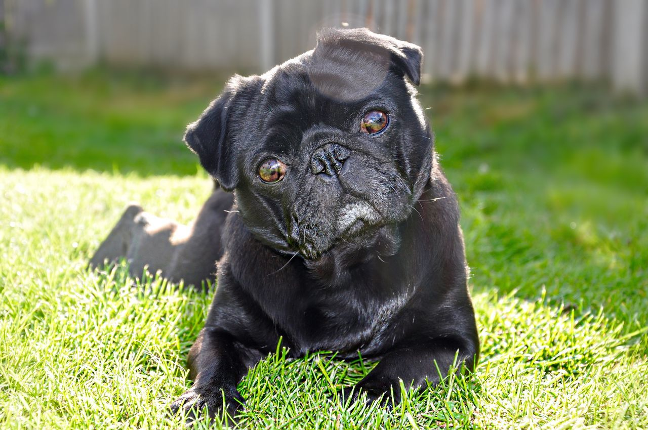 Beautiful stock photos of pugs, Animal Themes, Black Color, Canine, Close-Up