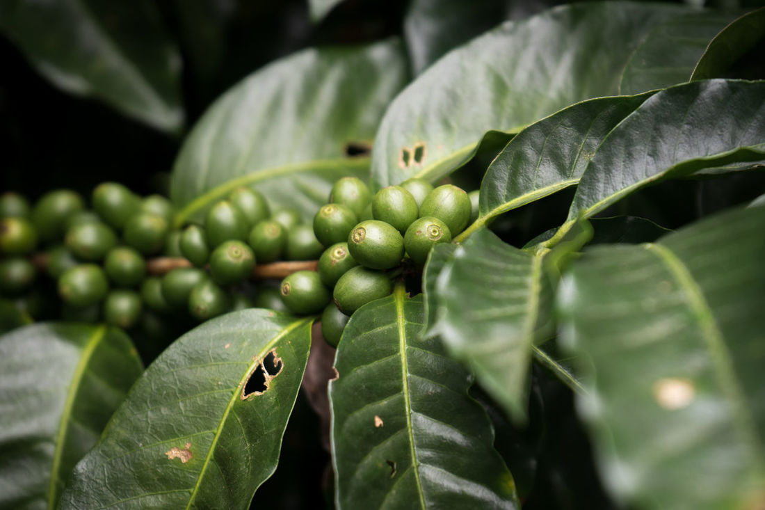 Coffee Fruit Coffee Plantations Close-up Coffee Plant Green Color Leaf No People Plant