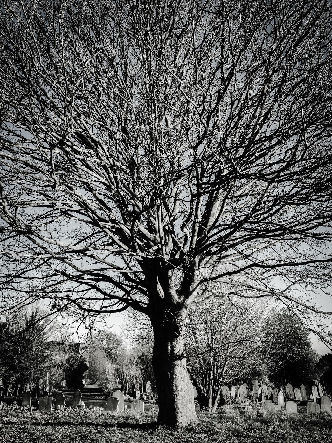 Moody Tree Majestic Tree Crown Impressive Tree Black And White Silver  Black And White Photography Time Stands Still Graveyard Bare Tree Branch Nature Tree Trunk Outdoors Sky Growth Tranquility No People Beauty In Nature Scenics Day Willow Tree Huge Cemetery Photography Cemetery_shots Cemetery