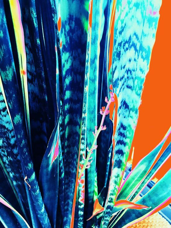 Snake Plant. Blue Multi Colored No People Close-up Backgrounds Indoors  IPhoneography IPhone Only Fine Art Photography Beauty In Nature Plant Orange Color