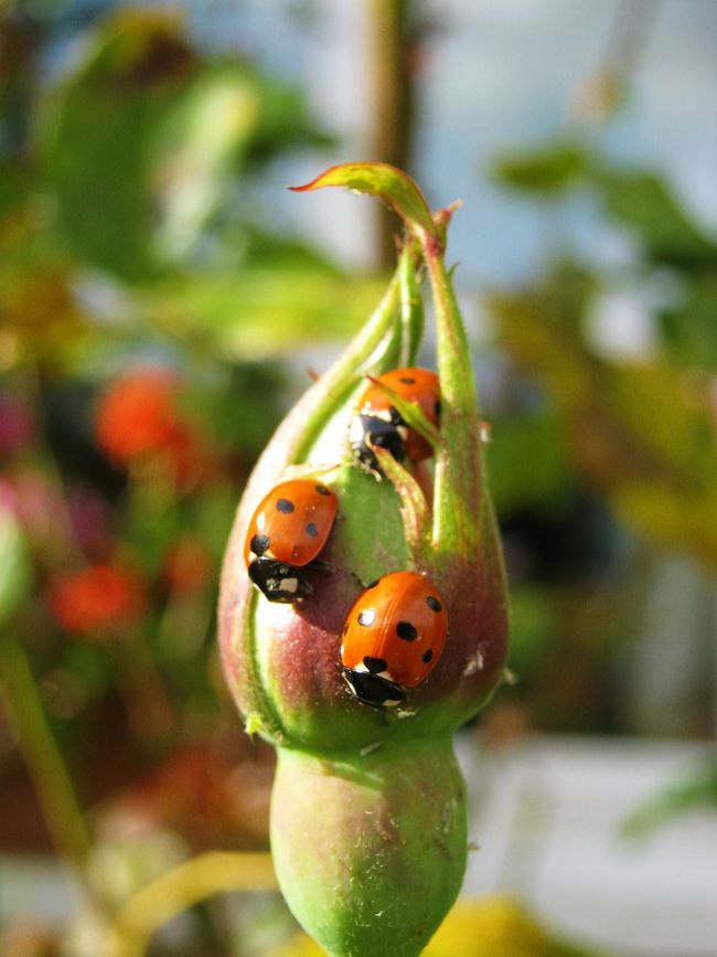 ladybirds posing on a rose bud Close-up Day Insect Ladybirds Ladybug Nature No People Outdoors Rose Bud Three