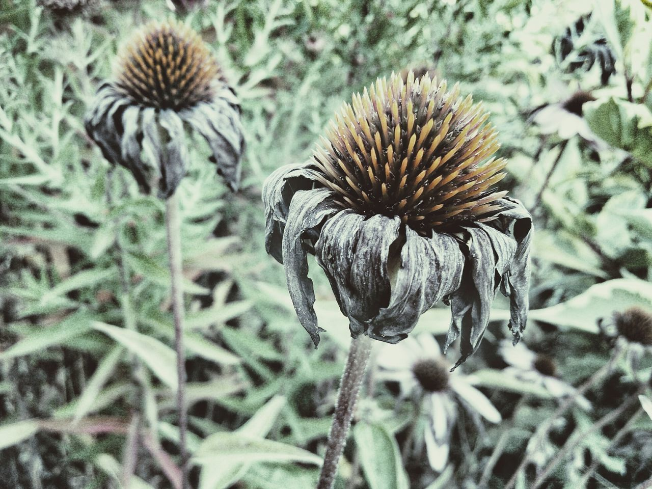 Echinacea Purpurea Echinacea Dry Flowers Focus On Foreground Close-up Plant Growth Dry Nature Fragility Flower Spiked Botany Outdoors Day Beauty In Nature Plant Life Growing In Bloom Thorn